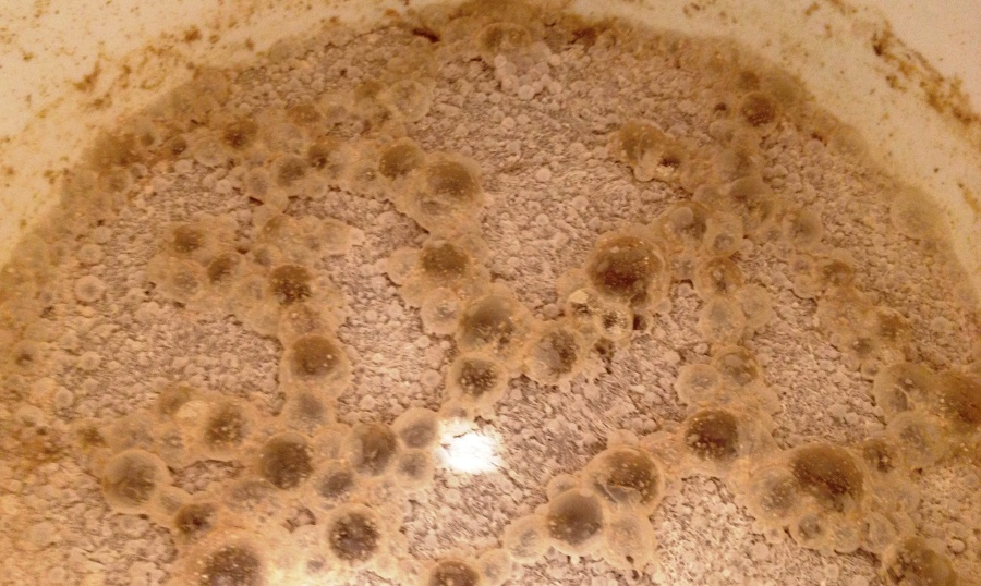 Brettanomyces pellicle