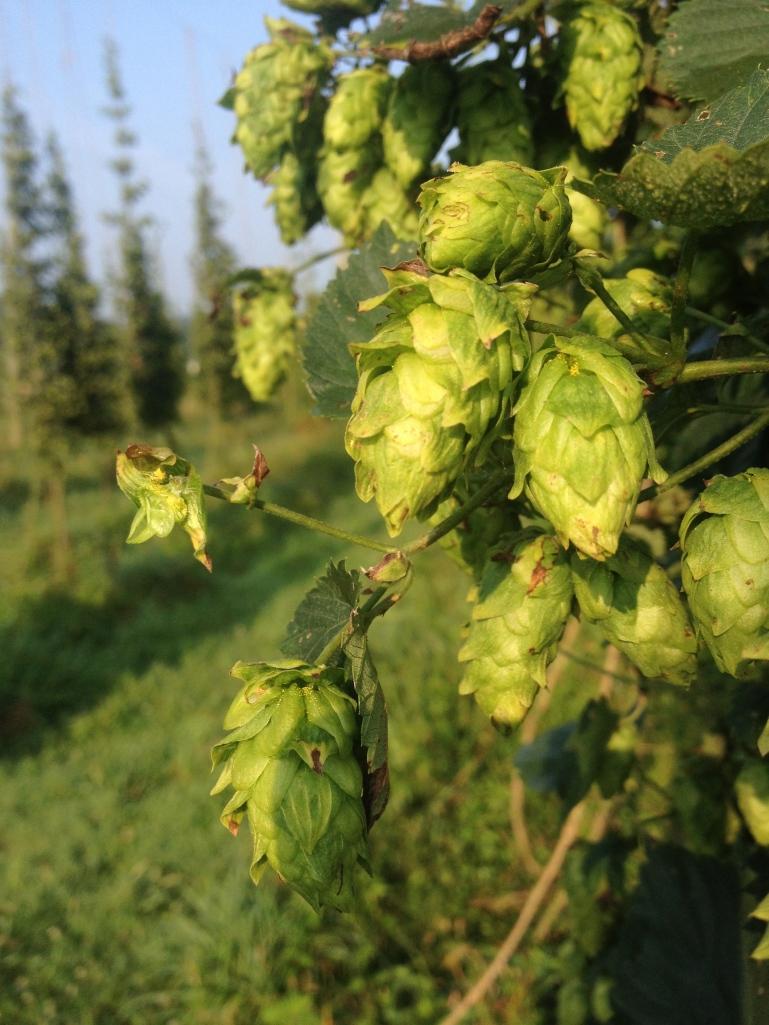 More hops
