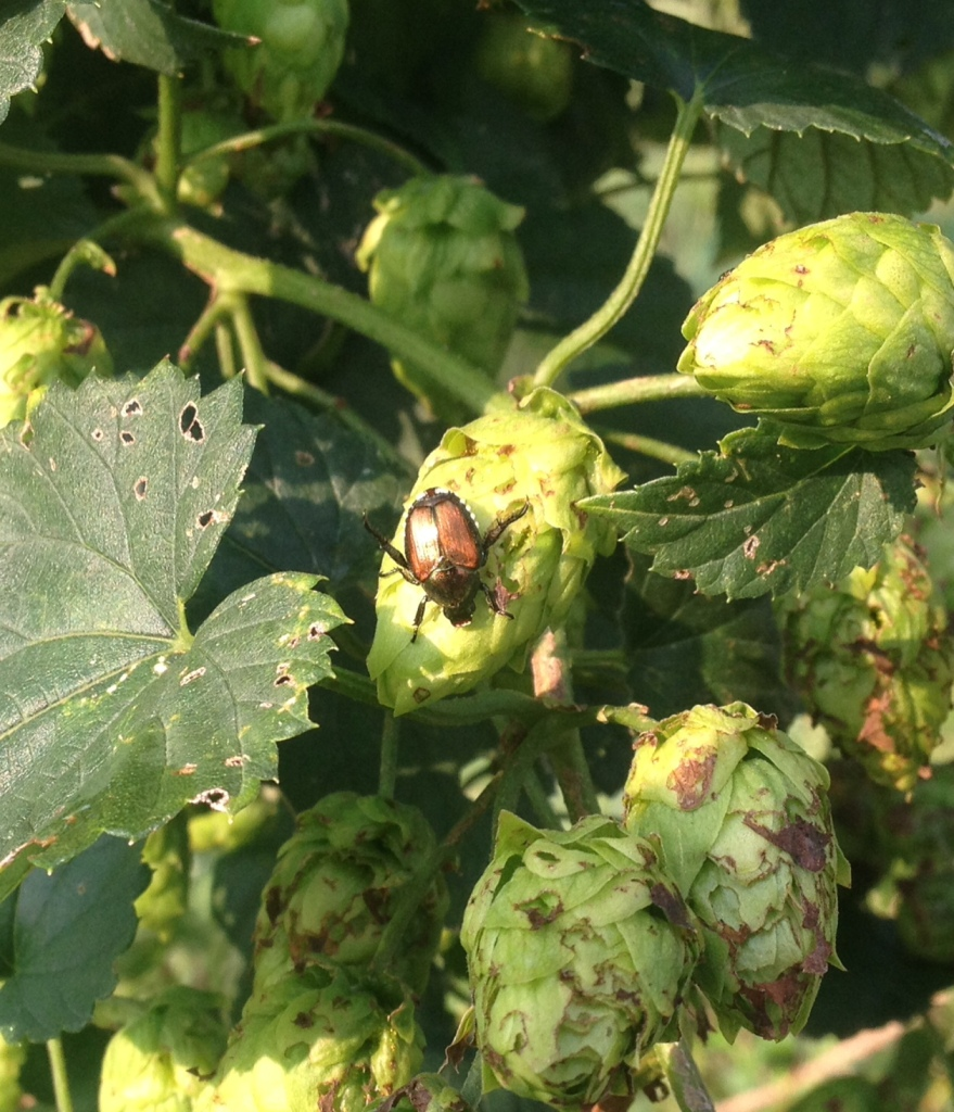 Japanese Beetle on hop cone